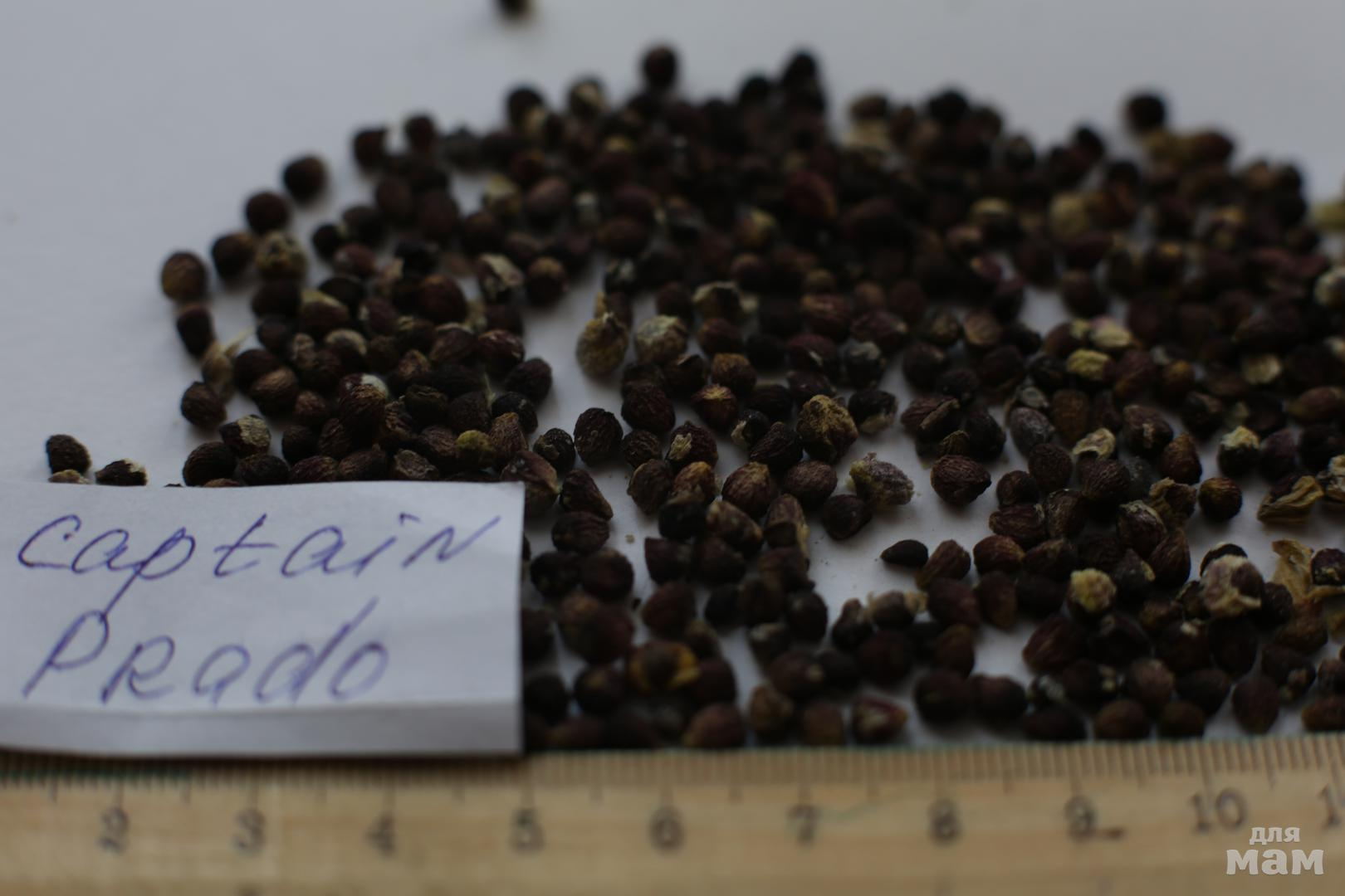 как выглядят семена нарцисса фото цветников клумб