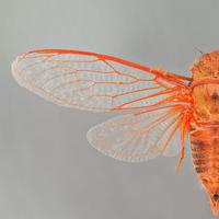 Cicada (Наталия)